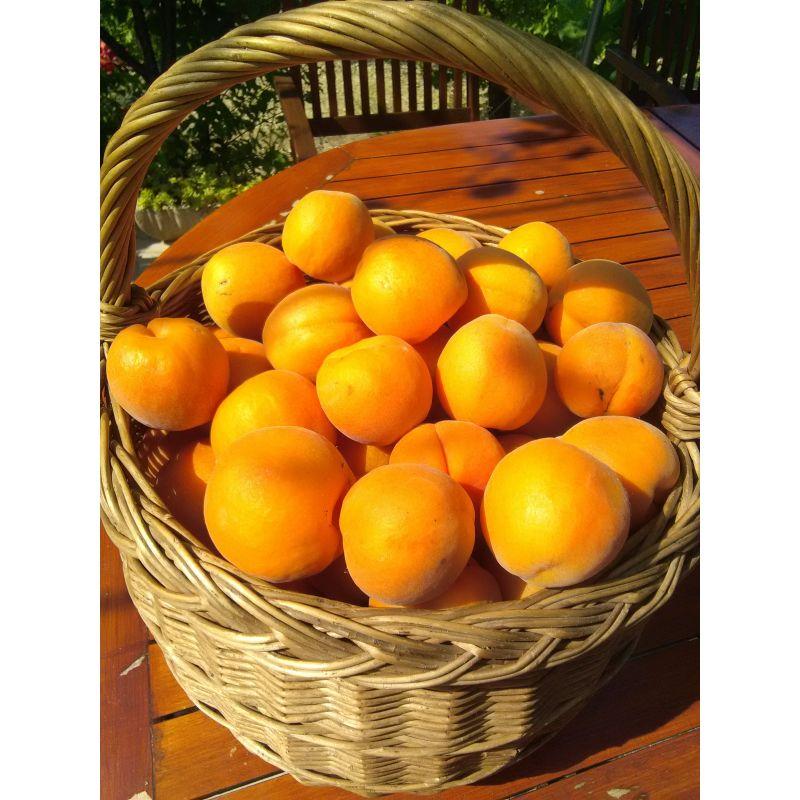panier d'abricots hargrand